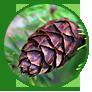 Живые шишки на елке